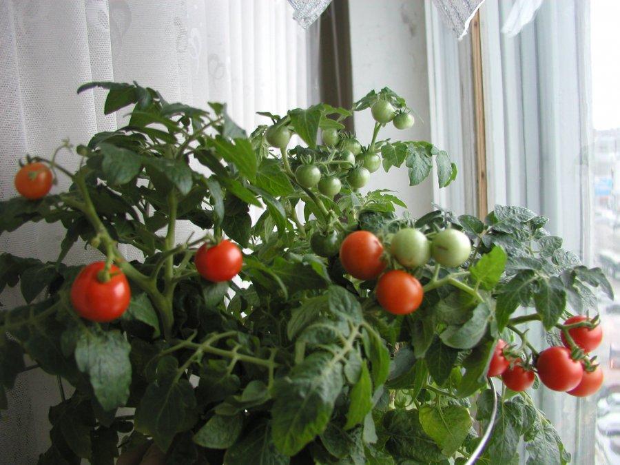 Технология выращивания помидоров на подоконнике. инструкция от а до я