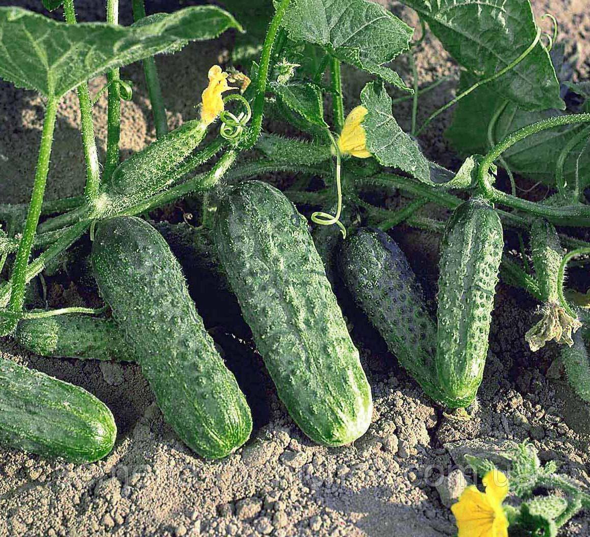 Огурцы «криспина f1»: рекомендации по выращиванию