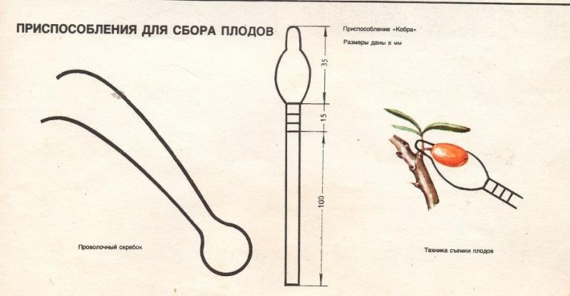 Как собрать урожай облепихи: способы и приспособления