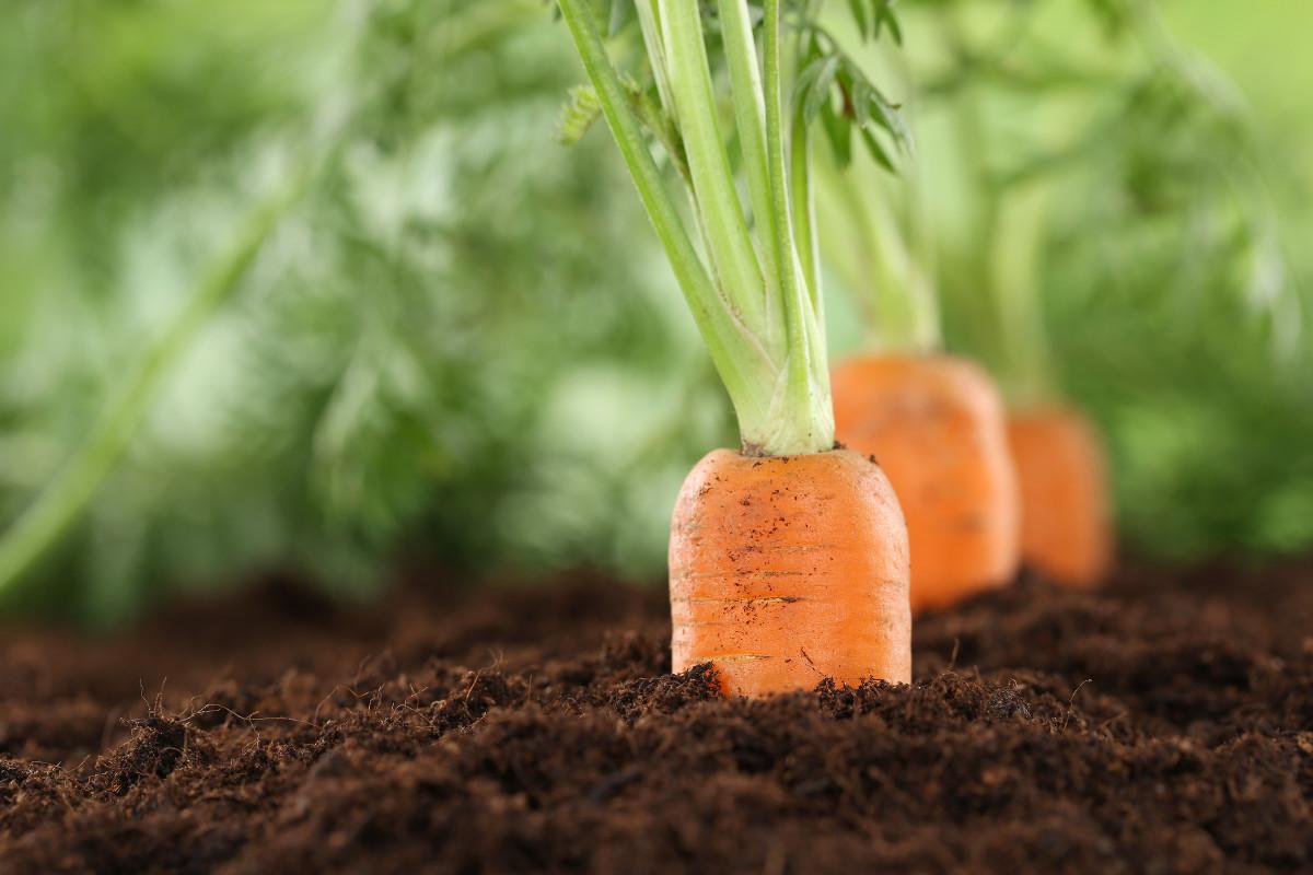 Все о выращивании моркови в открытом грунте и теплицах для получения хорошего урожая