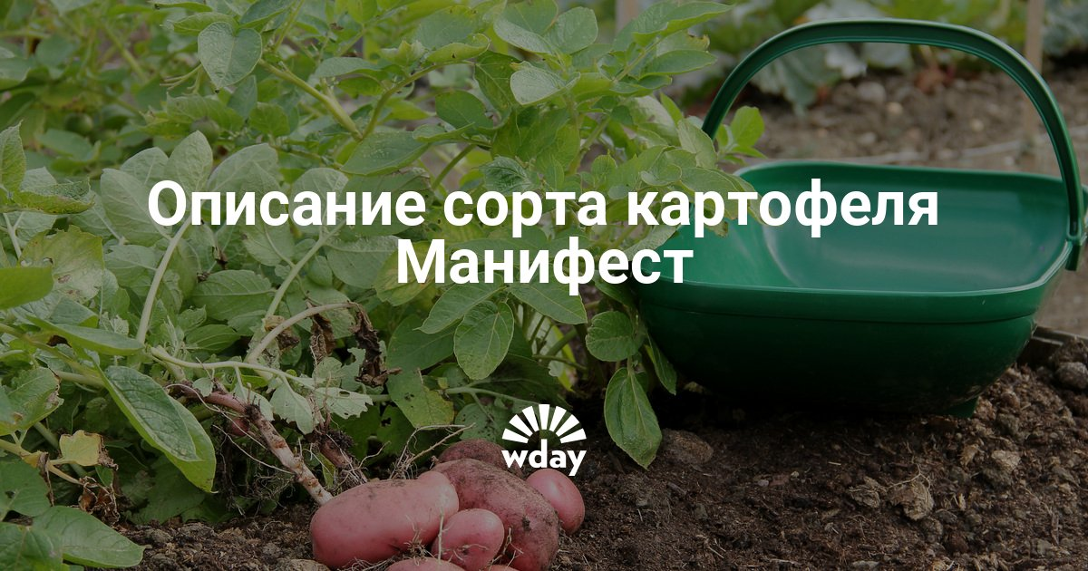 Картофель манифест: характеристика и описание сорта, фото, отзывы