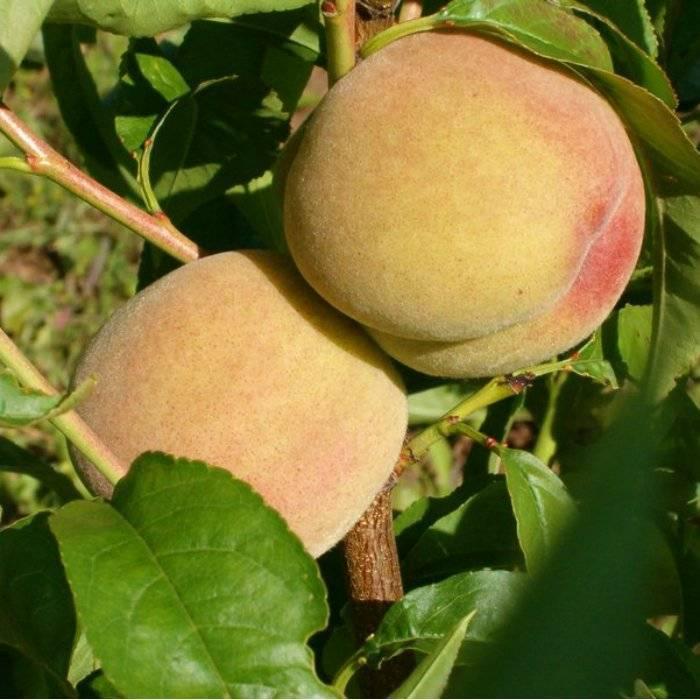 Сорта персика для выращивания в средней полосе