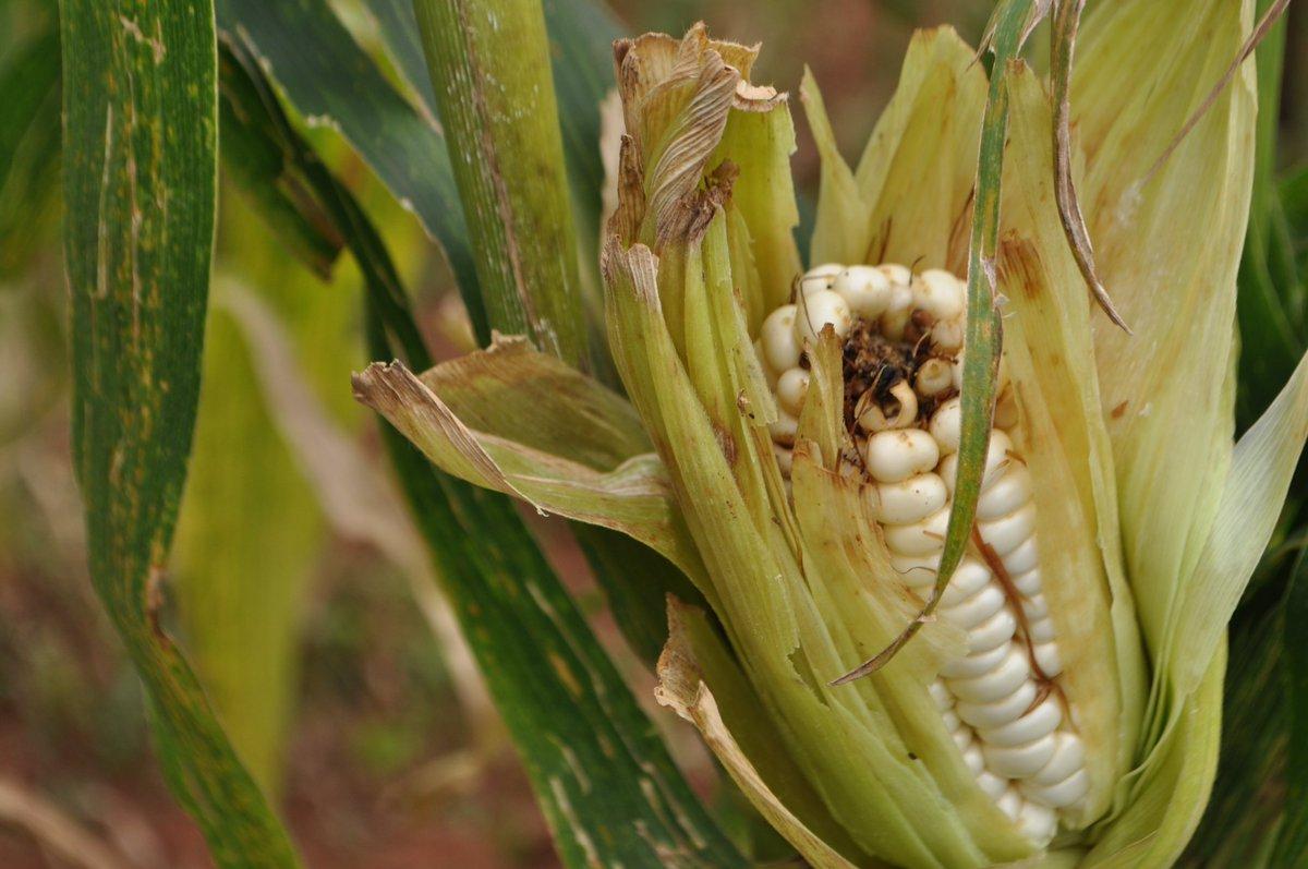 Болезни и вредители семян кукурузы, эффективные методы борьбы с заболеваниями кукурузы — пропозиция