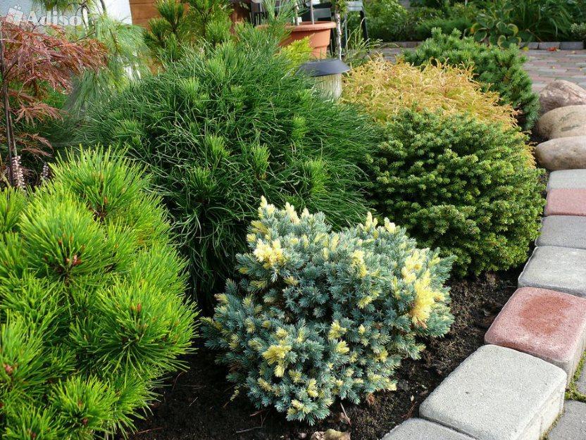 Маленькие хвойные деревья для маленьких дач. преимущества и недостатки. карликовые ели, пихты, лиственницы, сосны