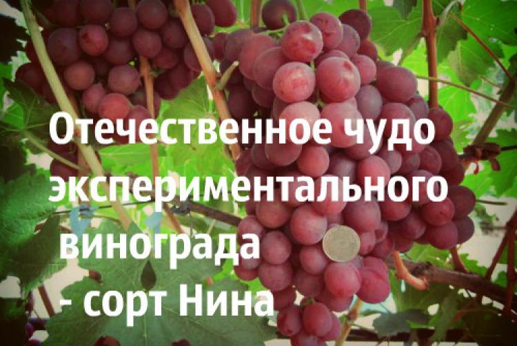 Виноград рубиновый юбилей: описание и характеристики сорта, выращивание и уход