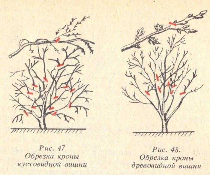 Описание лучших сортов и выращивание черешни на Урале, посадка и уход