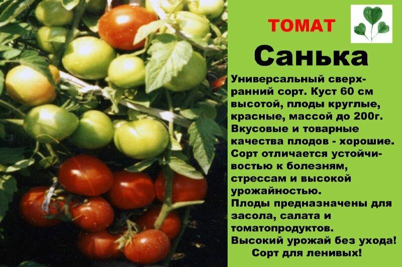 Томат санька: описание, характеристика, урожайность сорта, особенности выращивания, посадки и ухода, отзывы, фото