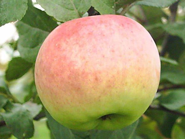 Яблоня имрус: описание сорта, фото, отзывы садоводов, уход, обрезка