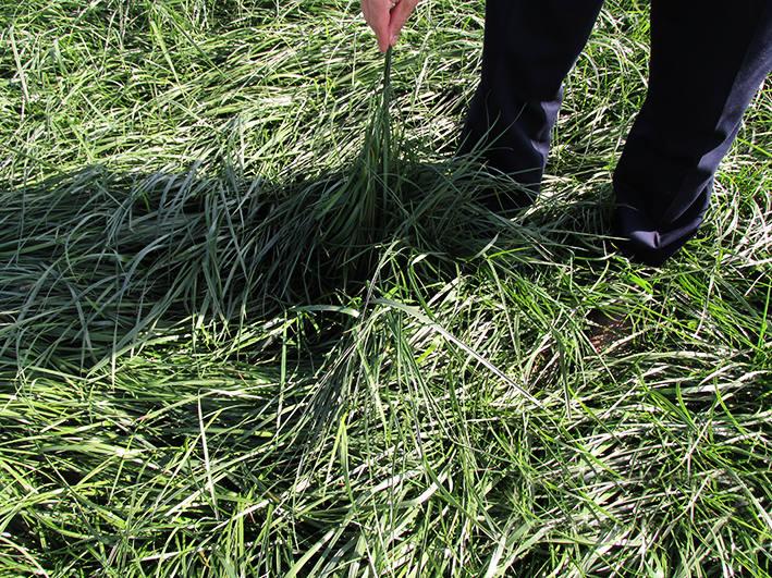 Мавританский газон: описание, преимущества, недостатки, подготовка почвы, состав травосмеси, правила посева, особенности ухода
