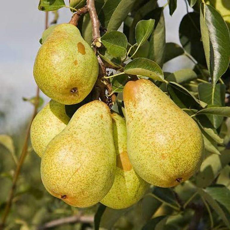 Описание сорта груша медовая - блог фермера