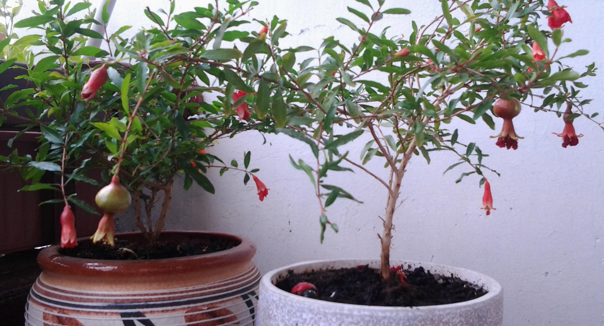 Выращивание граната из косточки в домашних условиях: советы профессионалов