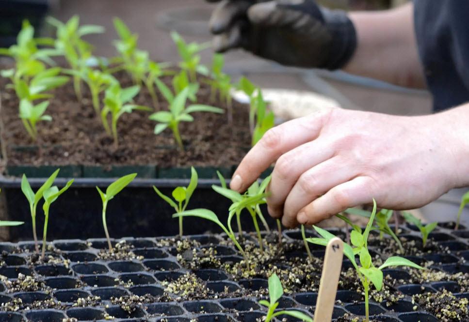 Перцы: посадка и уход за рассадой на урале и сибири, правила выращивания
