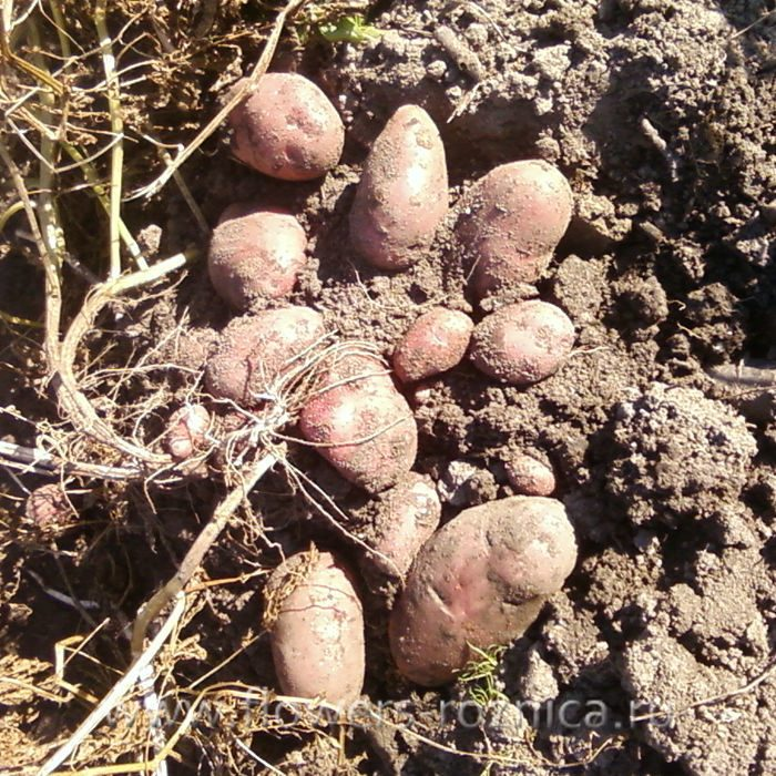 Картофель журавушка характеристика