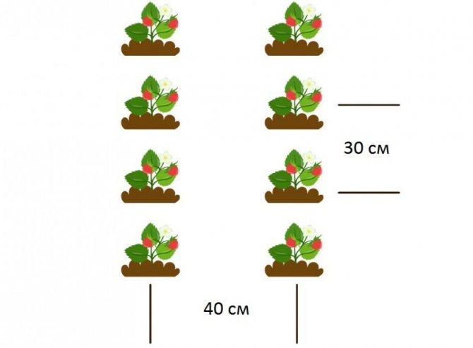 Клубника мице шиндлер: описание сорта, посадка, правила ухода