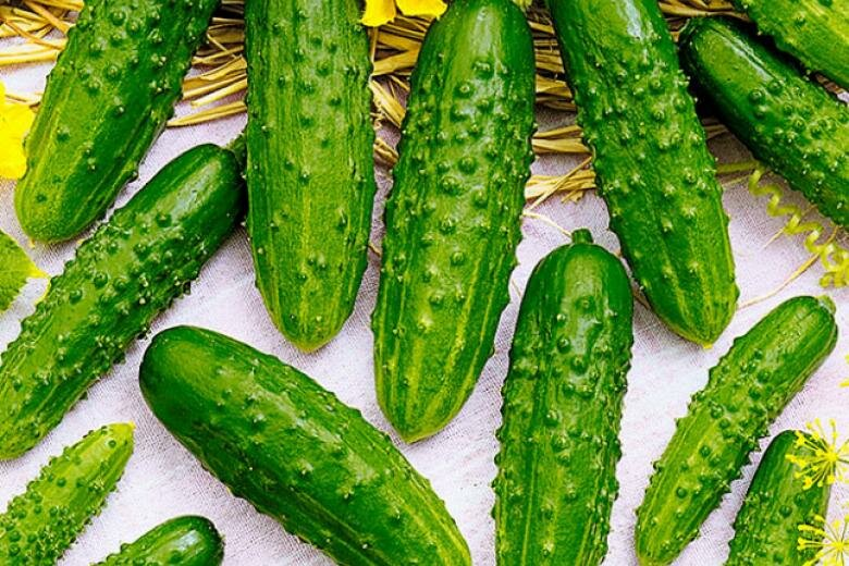Как выращивать кустовые огурцы в открытом грунте