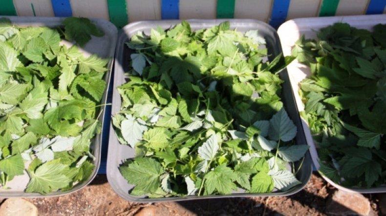 Когда собирать листья смородины для сушки на зиму? - ты-фермер