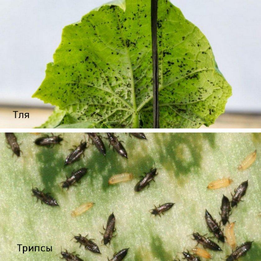 Чем обрабатывать огурцы от болезней и вредителей в теплице и в открытом грунте