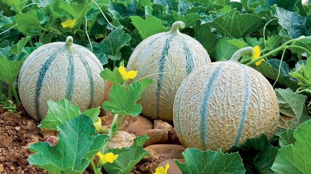 Дыня канталупа — польза оранжевой тайской дыни и правила выращивания
