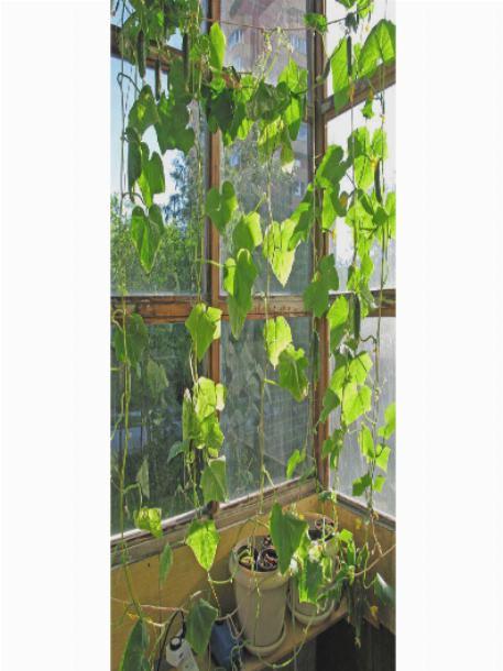 Как подвязать огурцы на балконе: схема, правила в домашних условиях, фото и видео