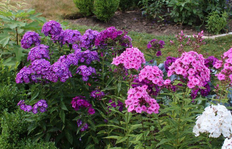 Многолетние цветы уральского сада. морозостойкие многолетние цветы для урала