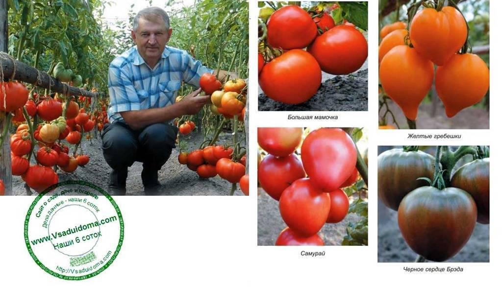 Томат бычье сердце: отзывы, фото, урожайность, описание и характеристика | tomatland.ru