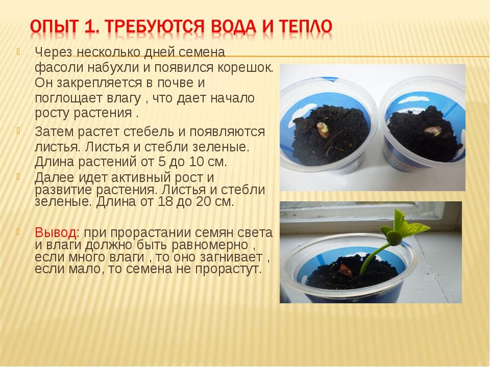 Как быстро прорастить фасоль в домашних условиях