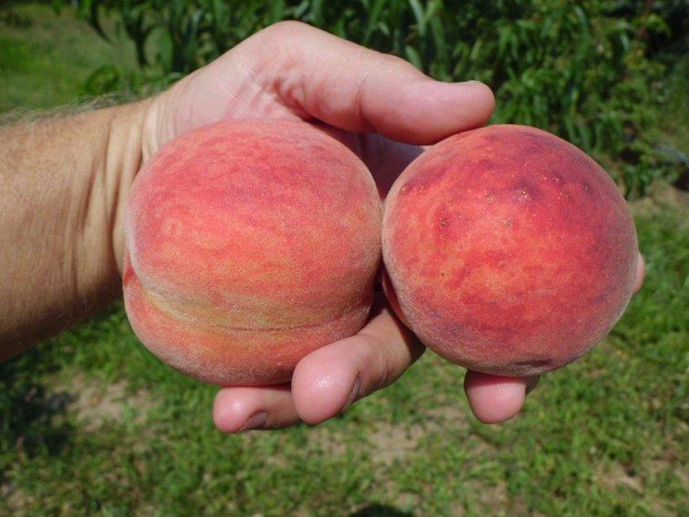 Персик краснолистный бургунди посадка и уход