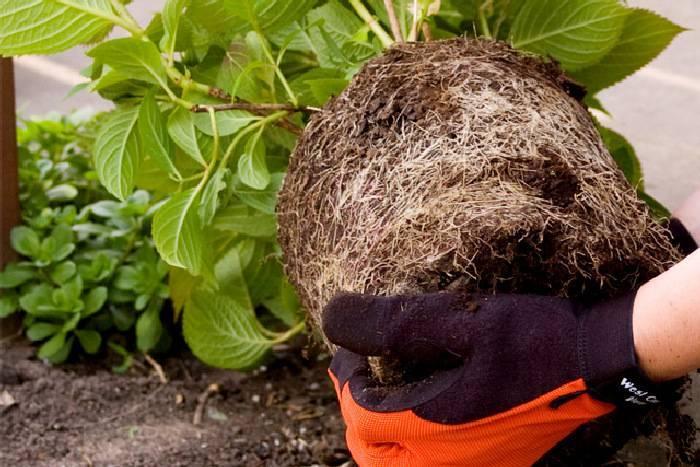 Особенности посадки и пересадки хризантем в осенний период