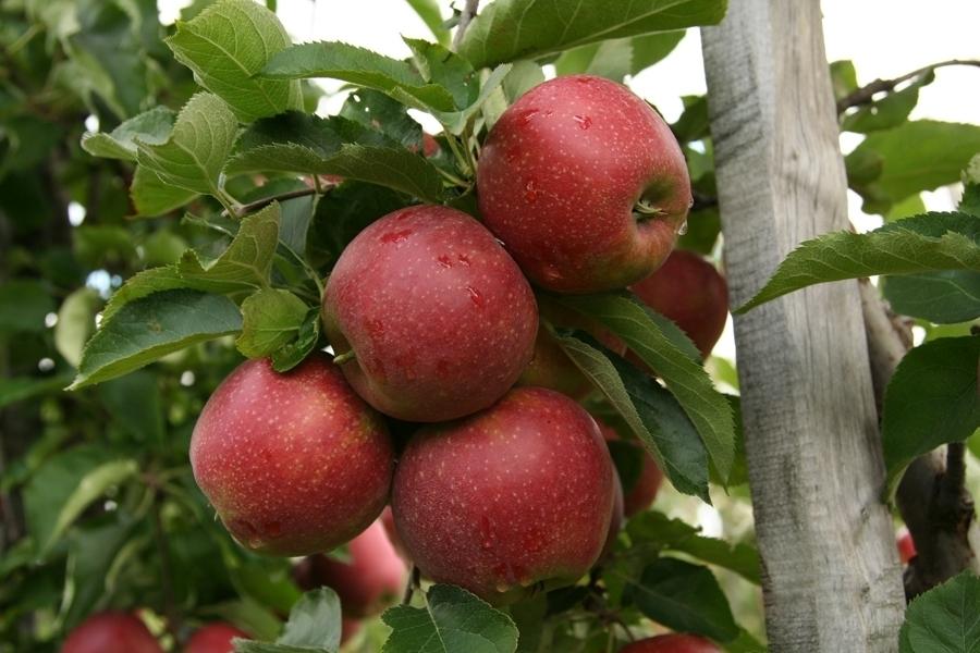 Яблоня джонатан: описание сорта и фото, расстояние при посадке selo.guru — интернет портал о сельском хозяйстве