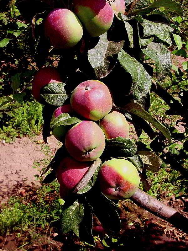 Колоновидная яблоня: посадка и уход, обрезка, описание сортов для подмосковья, фото