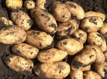 Выращивание картофеля сорта импала