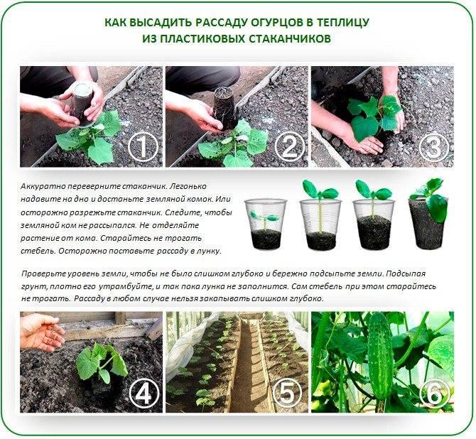 Выращивание рассады огурцов. подготовка, посев, уход. когда сажать? — ботаничка.ru