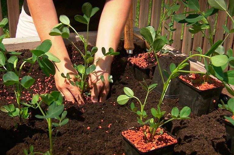 Как вырастить арахис на даче: можно ли взять магазинные орешки, когда и как посадить культурный земляной орех в открытый грунт в огороде, каковы уход и урожайность?