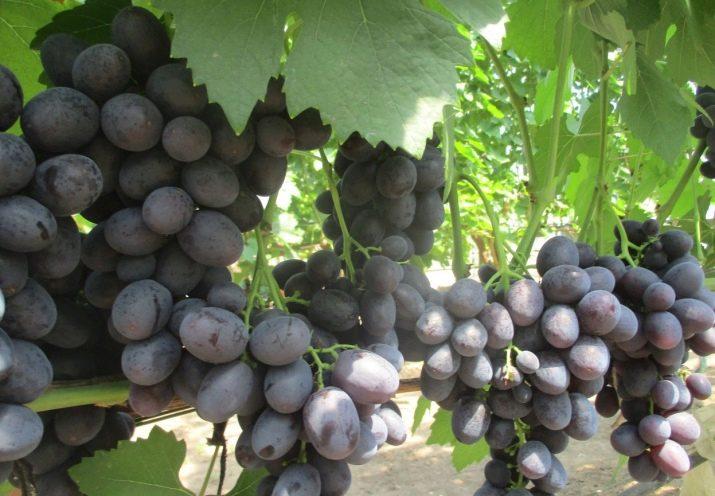 История, описание и характеристики сорта винограда подарок ирине, особенности выращивания и ухода