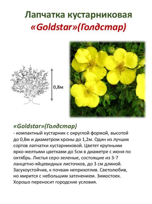Лапчатка кустарниковая: выращивание и уход в открытом грунте, фото, сорта, размножение, посадка и сочетание в ландшафтном дизайне