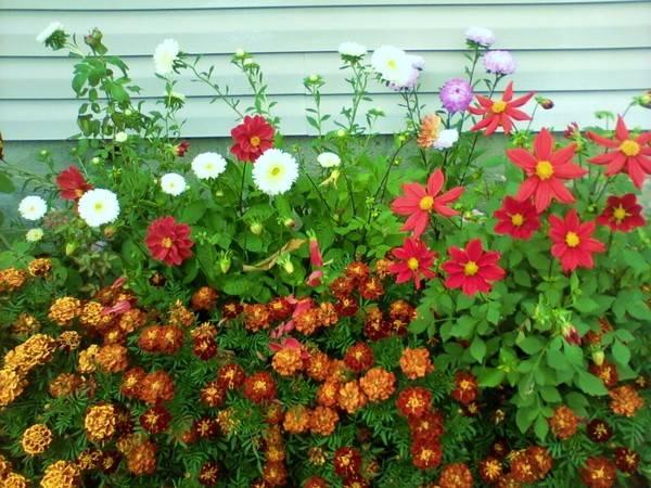 Космея - сорта, варианты посадки, уход, сбор семян, укрытие на зиму