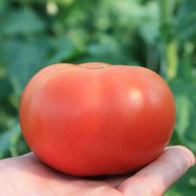 Описание томата японский карлик особенности сорта и правила выращивания