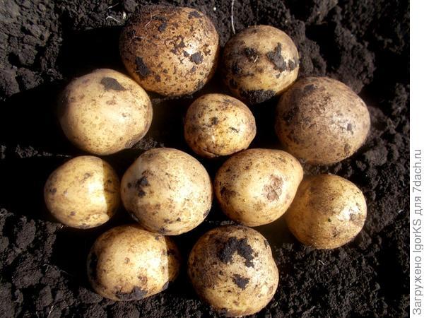 """Картофель """"зекура"""": описание сорта, фото, отзывы"""