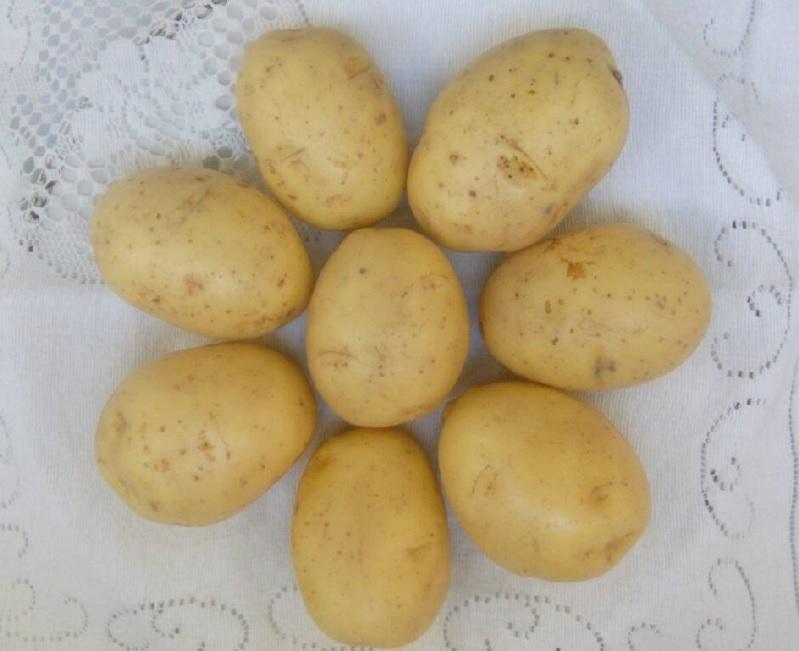 Картофель гала: описание сорта, характеристика