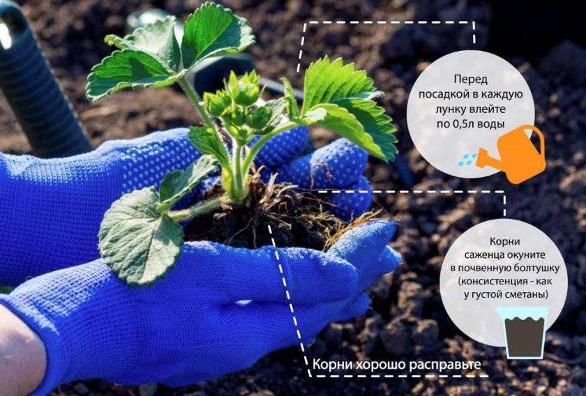 Ампельная клубника с розовыми цветами: уход и выращивание, фото