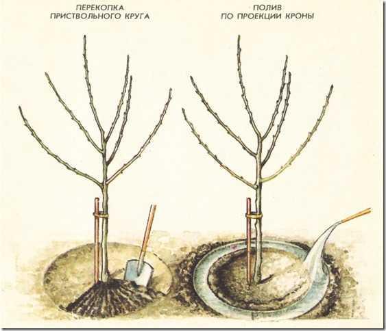 Яблоня аркадик: особенности сорта и ухода