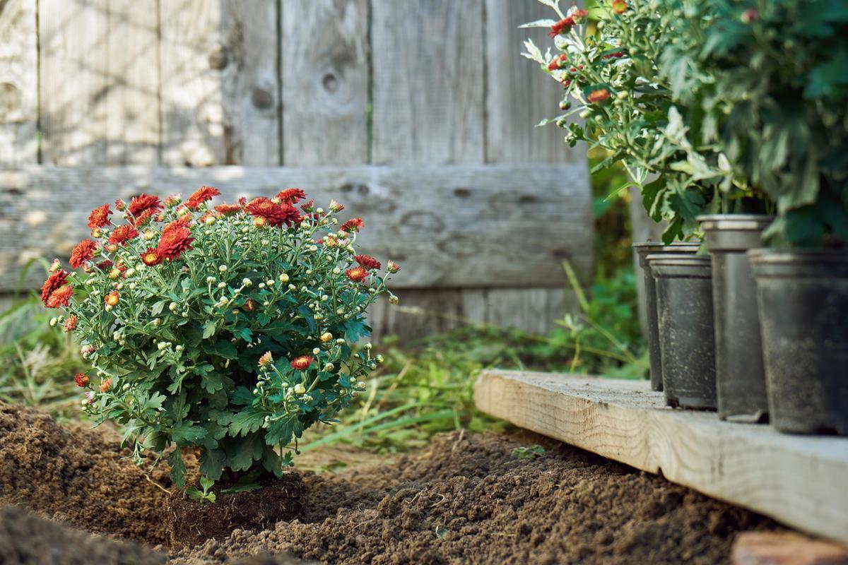 Хризантемы — посадка и уход в открытом грунте, пересадка осенью на другое место