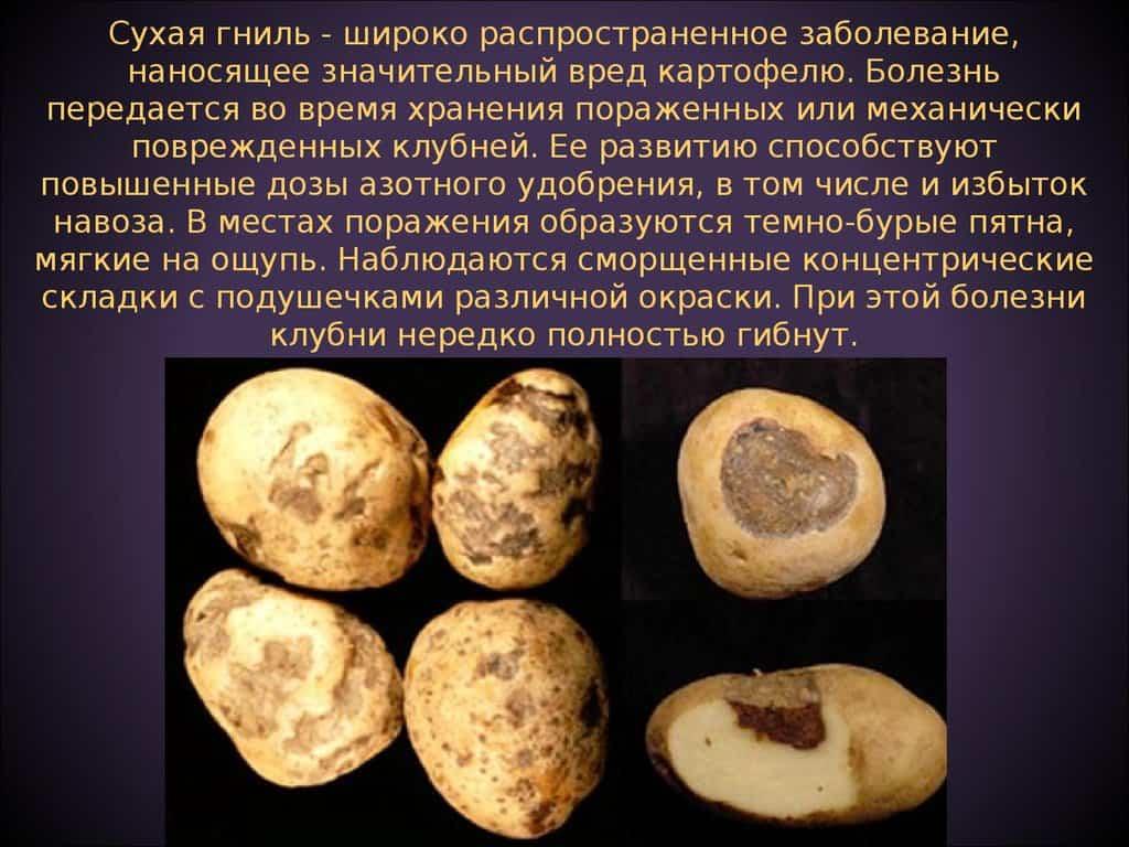 Альтернариоз картофеля | справочник пестициды.ru