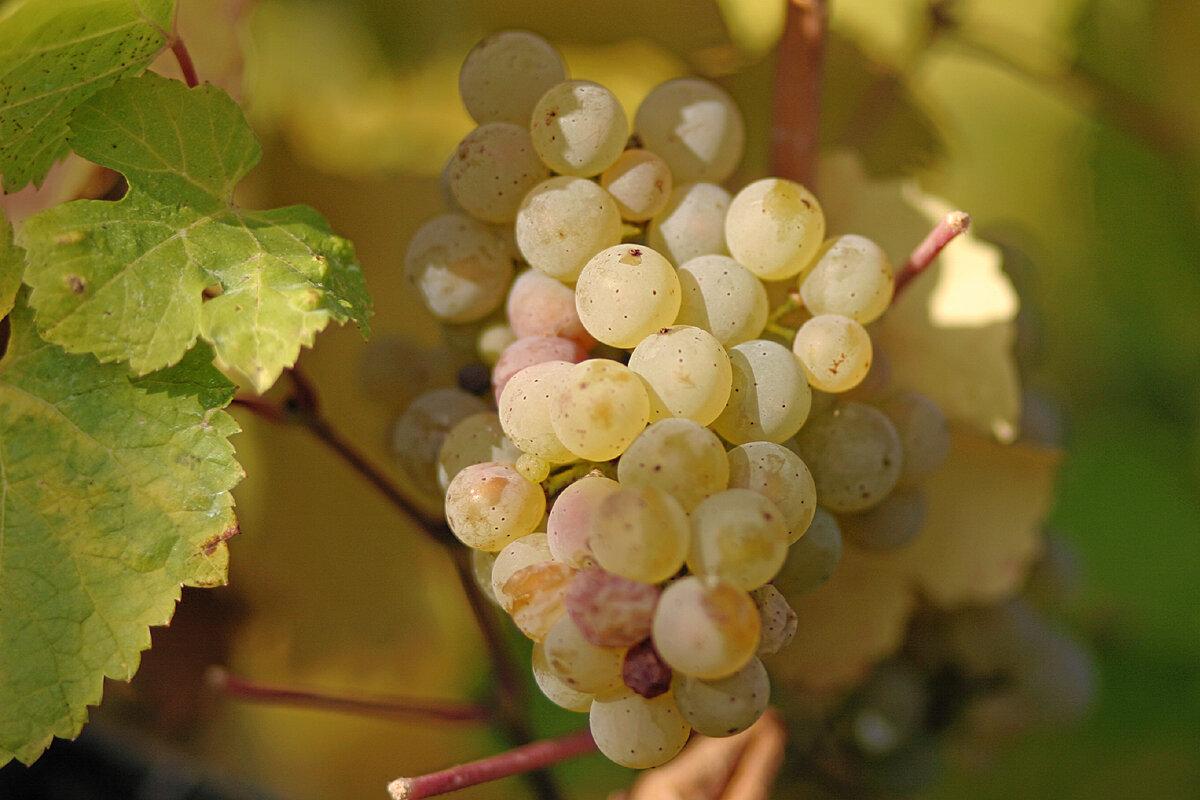 Рислинг (riesling) - сорт винограда