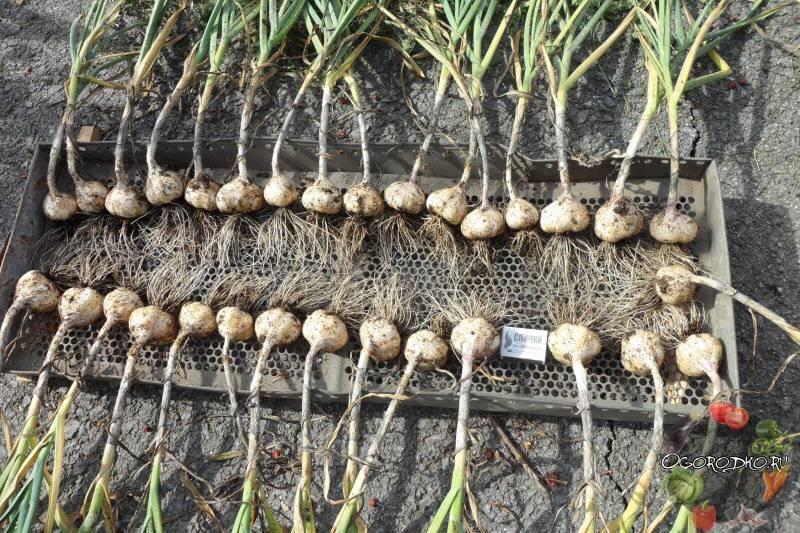 Когда выкапывать чеснок посаженный под зиму в 2021 году, расчет благоприятных дней в зависимости от региона и по лунному календарю
