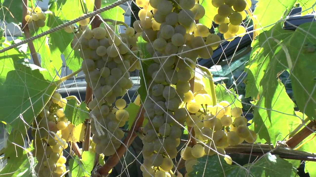 Уникальный сорт винограда бьянка