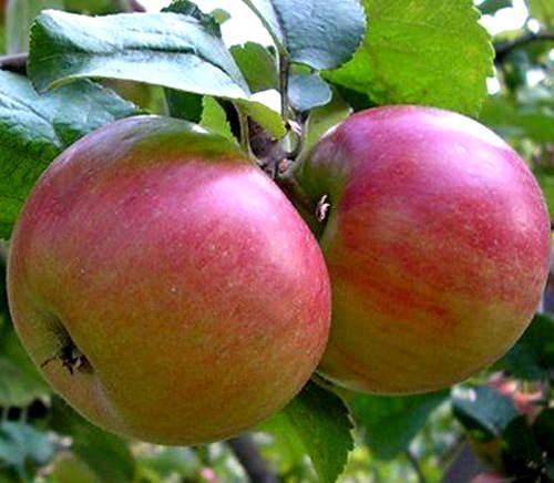 Яблоня соколовское