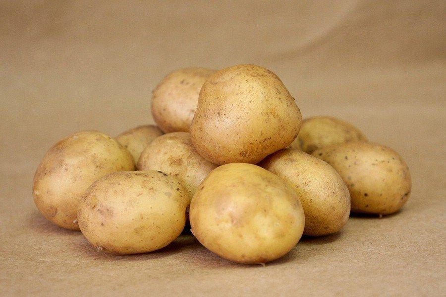 Сорт картофеля рогнеда: описание и характеристика, отзывы