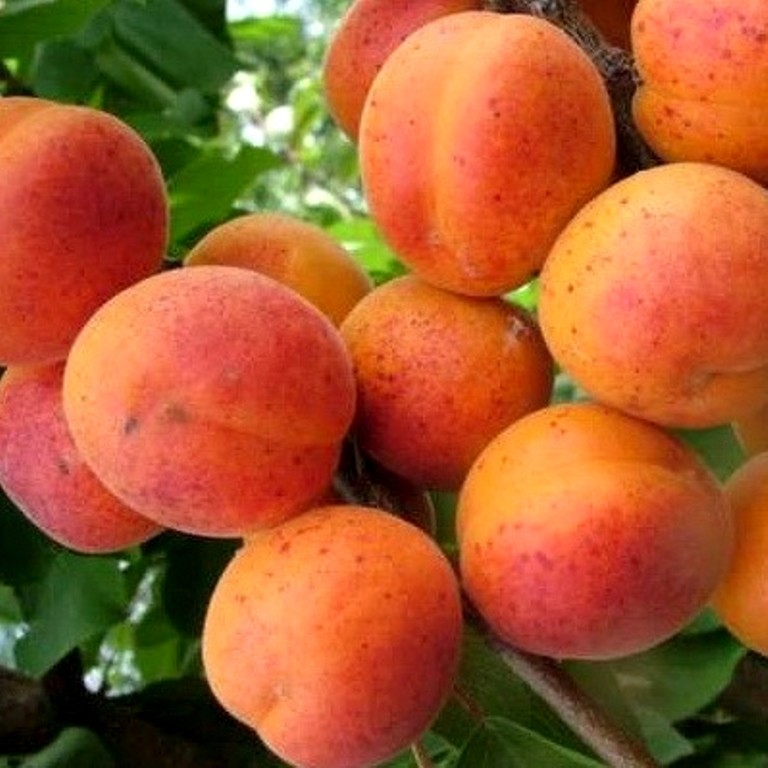 Описание сорта абрикоса саратовский рубин, характеристика и опылители