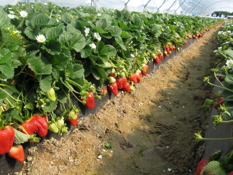 Выращивание клубники в открытом грунте, в том числе в беларуси, сибири, на урале и в других регионах